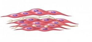 Строеж и функция на мускулната клетка